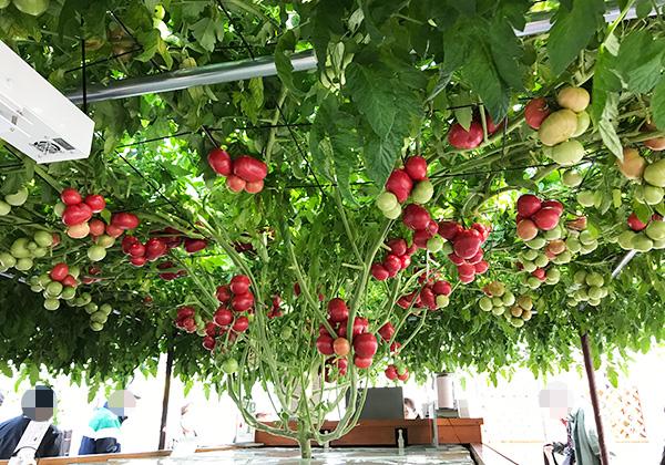 えこりん村 トマトの木